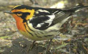 Blackburnian Warbler... Photo by Mike McDowell